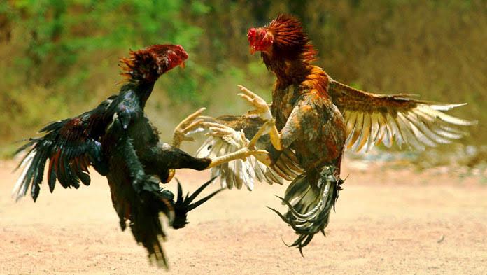 Foto Polisi Sektor (Polsek) Toili berhasil mengamankan lima warga yang diduga melakukan perjudian sabung ayam