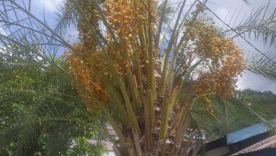Photo of Pohon Kurma Berbuah Lebat di Luwuk, Disini Beli Bibitnya!