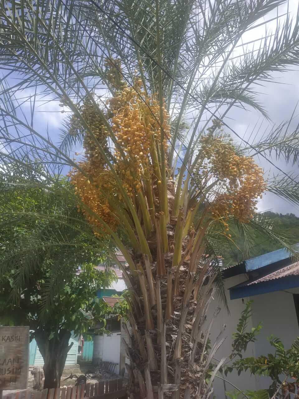 Pohon Kurma milik Oma berbuah lebat di Luwuk, Senin (24/02/2020). Foto : Irsan/LT