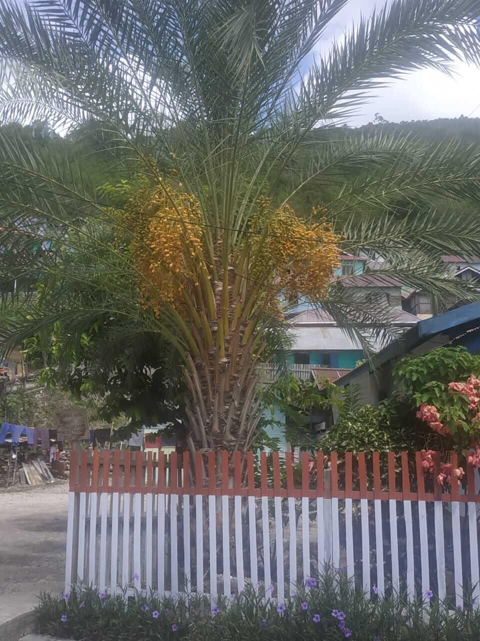 Rumah Oma di Kelurahan Mangkio Baru sering menjadi lokasi kunjungan bagi warga yang penasaran ingin menyaksikan langsung pohon Kurma Berbuah. Foto : Irsan/LT